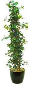 Ficus Trianguloris